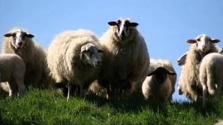 Rural Countryside Sounds | The Sound of Sheep