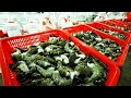 Awesome Shrimp Farm in Japan - Japan aquaculture technology -  Prawns Harvesting Packing