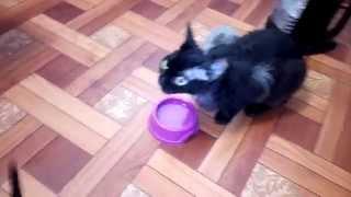 Кошка учить пить воду котят