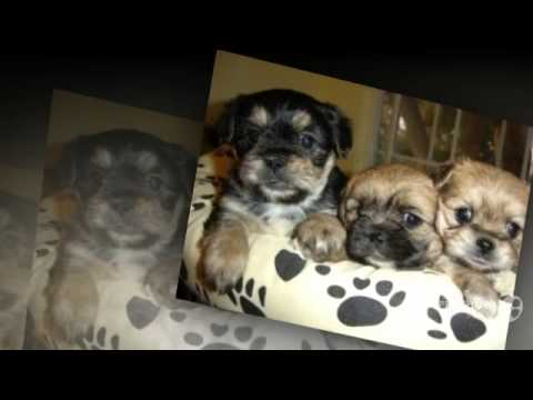 Yorkinese Dog breed