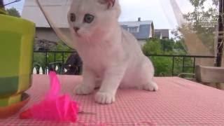 Питомник шотландских кошек Безухов (Bezuhov)