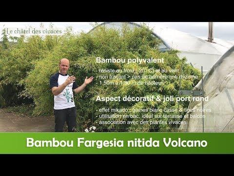 Fargesia Nitida Volcano Youtube