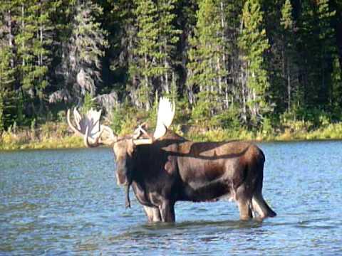 Huge bull moose grunting in lake - Glacier National Park (Sept. '09)