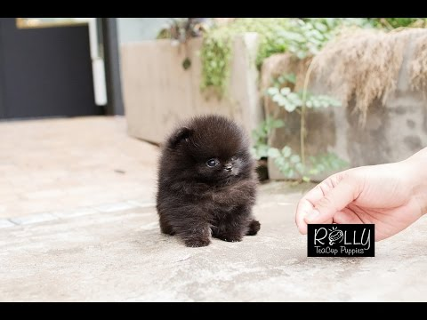 True Teacup Black Pomeranian Teddy Bear!! Kasey - Rolly Teacup Puppies