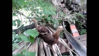kỹ thuật nuôi gà đá gà con đạt trên 90%