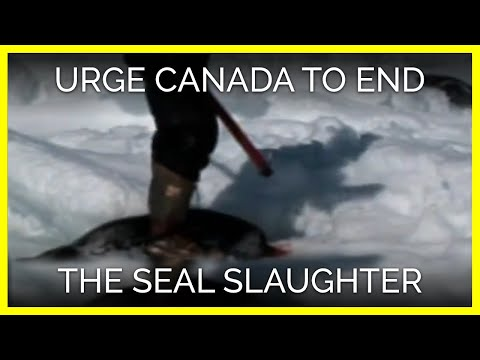 Urge Canada's Prime Minister to End the Seal Slaughter
