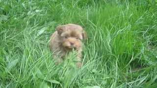 ГИАЛИТА - щенок русской цветной болонки