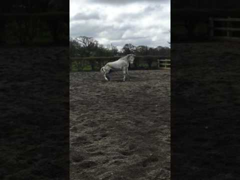 Grey horse gets caught out by owner