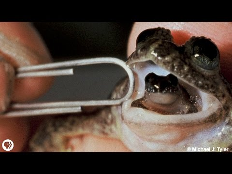 meet-the-frog-that-barfs-up-its-babies