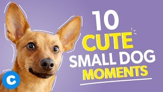 10 Super Cute Small Dogs Doing Small Dog Things