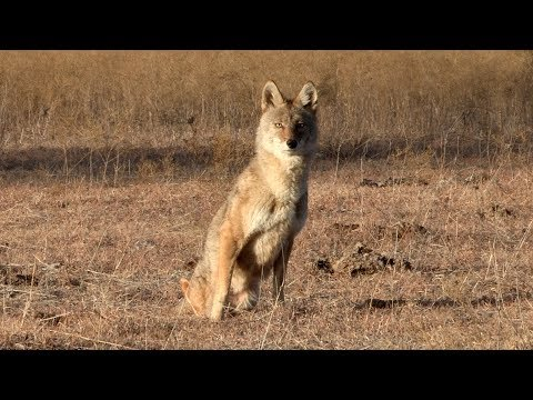 2 legged coyote makes it out alive. Night Crew S1E7 'Gary Bennett'