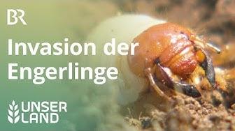 Maikäfer: Invasion der Engerlinge | Unser Land | BR Fernsehen
