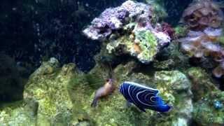 Angel killing shrimp - not a reef safe fish !!