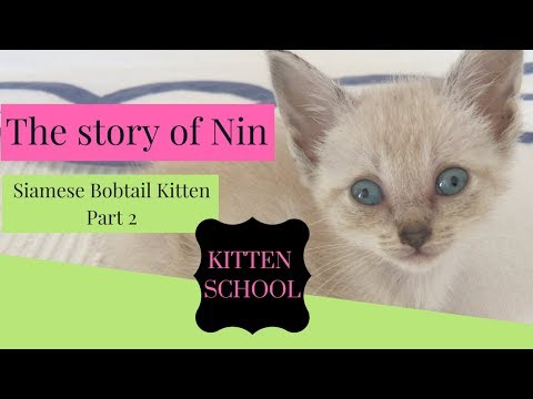 Nin the Siamese bobtail Orphan Kitten - Part 2- Getting Stronger!