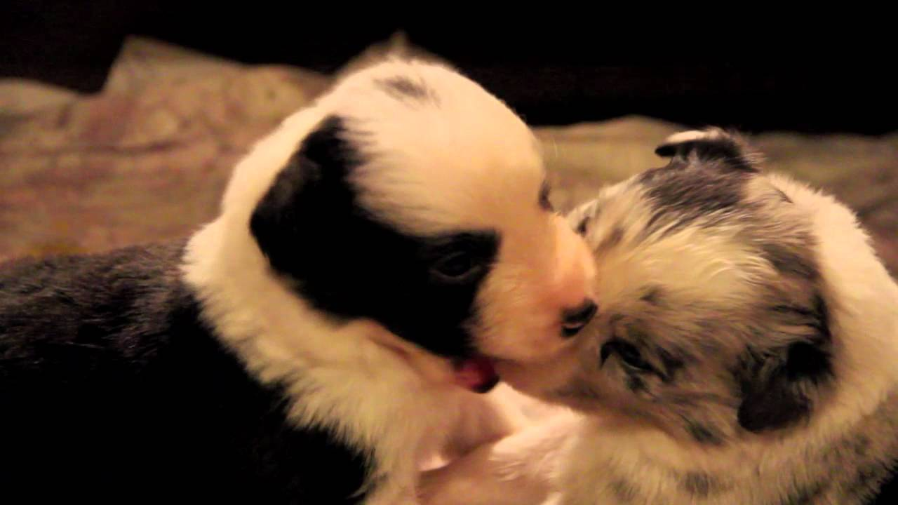 Puppies in Love 1.mov