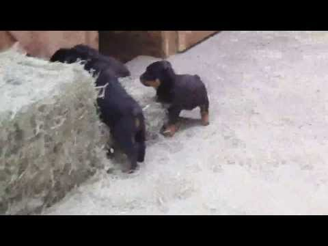 rottie-puppies-for-sale