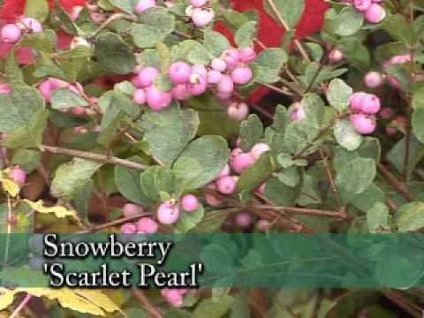 Winter Berry Plants