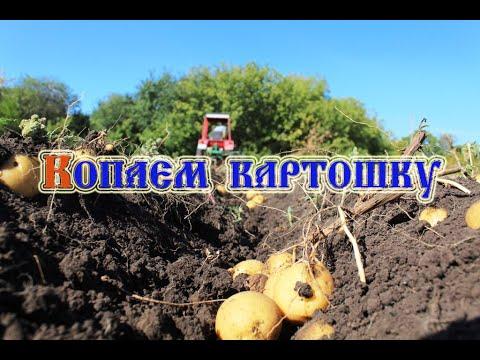 Копаем картофель сорт Гала (2020)