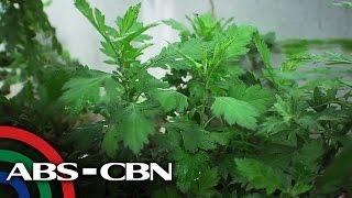 Salamat Dok: Health benefits of Damong Maria | Cure Mula sa Nature