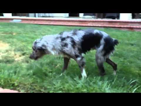 Mini Australian Shepherd's first swim!