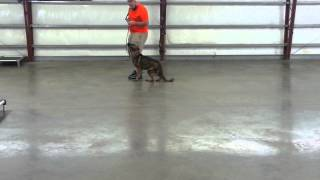 """German Shepherd Male Sable Obedience Protection Dog Trained For Sale """"lyndon"""""""