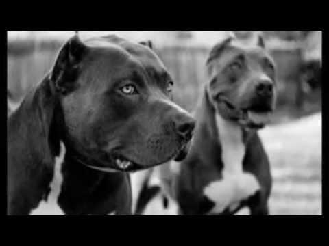 American Staffordshire Terrier vs Pitbull, ¿Cuál ganaría? / Pelea de perros