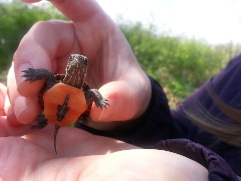 Cute Tiny Baby Painted Turtle (Chrysemys picta)