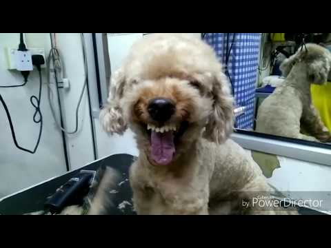 Grooming Aggressive Toy Poodle