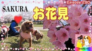 今年の桜は咲くのが早かったですね。 ・おもしろ可愛い犬・アンポンタン...