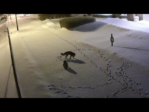 owl-vs-fox-in-unlikely-match-in-the-middle-of-a-winter-night