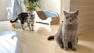 Life With Cats  American Shorthair & British Shorthair #18