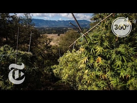 Why a Pot Farmer Opposes Legal Marijuana | The Daily 360 | The New York Times