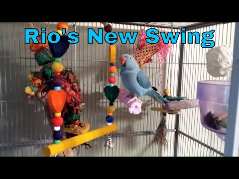 Rio my Indian Ringneck Parakeet gets a new swing