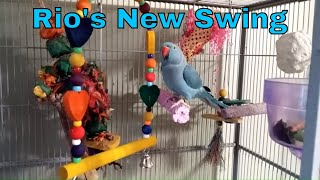 "Indian Ringneck Parakeet ""Rio"" gets a new swing."