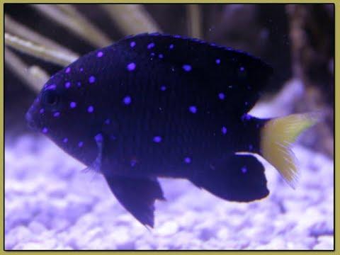 Jewel Damselfish - A Sparkling Wonder