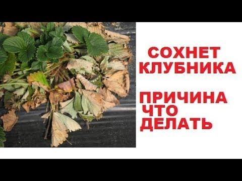 Чем болеет клубника если чернеет новый листок