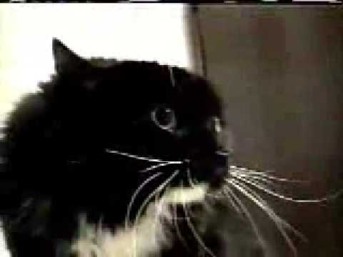 The Best Talking Cat From afv