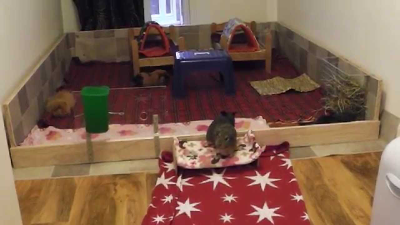 New guinea pigs new house new cage new pig room youtube for Guinea pig homes