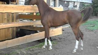 красота арабской лошади