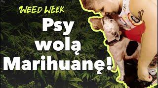 TOP 5 ciekawostek o zwierzętach i marihuanie |  #WeedWeek 3