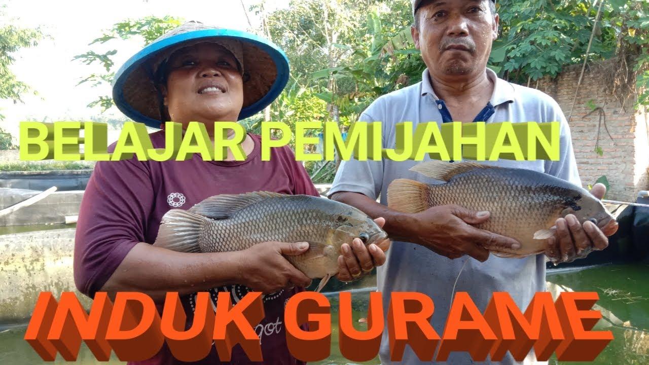 cara pemijahan ikan Gurame di kolam terpal