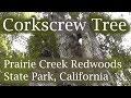 Corkscrew Tree (Coastal redwood), Prairie Creek Redwoods SP, California, USA
