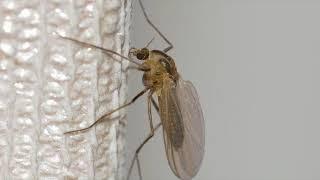 Почему комары пищат?