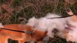 決して柴犬がゴールデンレトリバーを襲っているのではありません。2匹は...