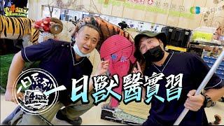 《一日系列第一百三十七集》邰智源跟KID要幫老虎做健康檢查!!!-一日獸醫實習