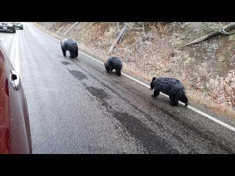 Bear family Yellowstone