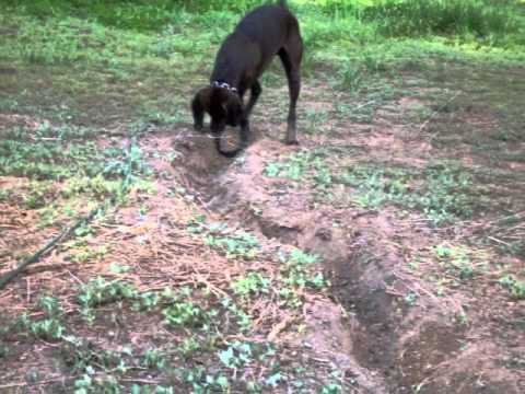 Dog Gets Caught Digging Hole