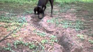 3 Legged Dog Digs Massive Trench