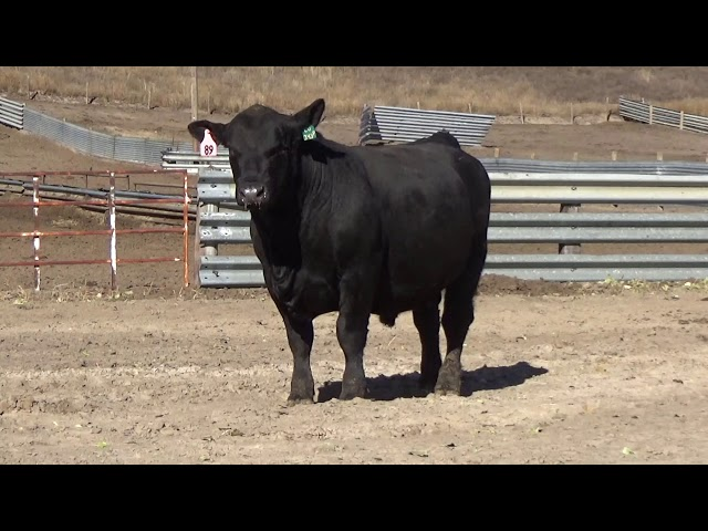 Connealy Angus Lot 89