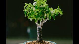 Chinese Ornamental Pepper Capsicum annuum indoor fusion bonsai, repot - May 2017
